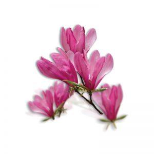 okrasné rastliny - magnólia